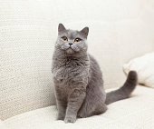 Pretty blue British cat with yellow eyes sitting on a couch