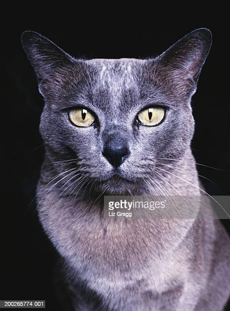 Blue Burmese cat, close-up