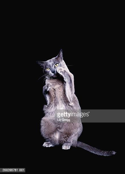 Blue Burmese cat with raised paw
