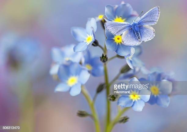 Blue butterfly on forget me not flowers