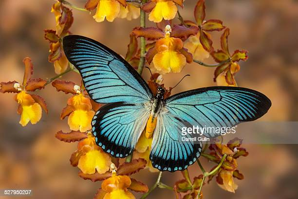 Blue butterfly papilio zalmoxis on orchid