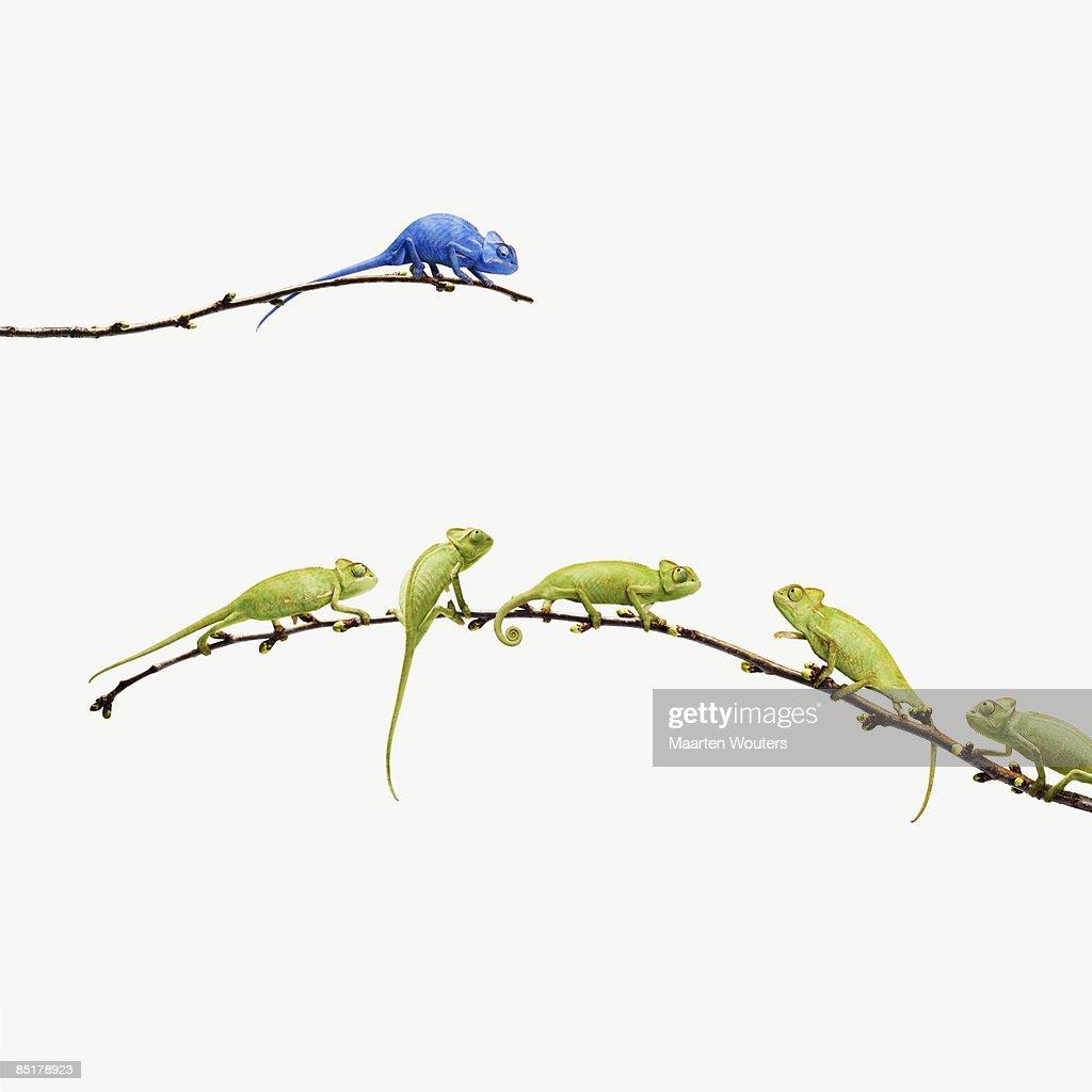 blue chameleon  looks at group of green chameleons