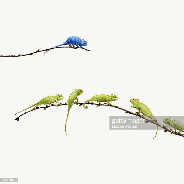 blue chameleon  looks at group of green chameleons