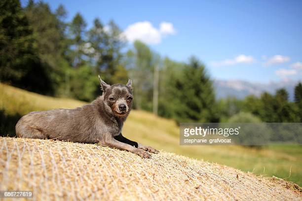 Blue chihuahua dog lying on a hay bale in the sun