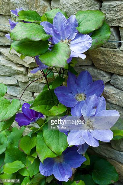 Blue clematis flowering shrub in English cottage garden in Swinbrook in The Cotswolds Oxfordshire UK