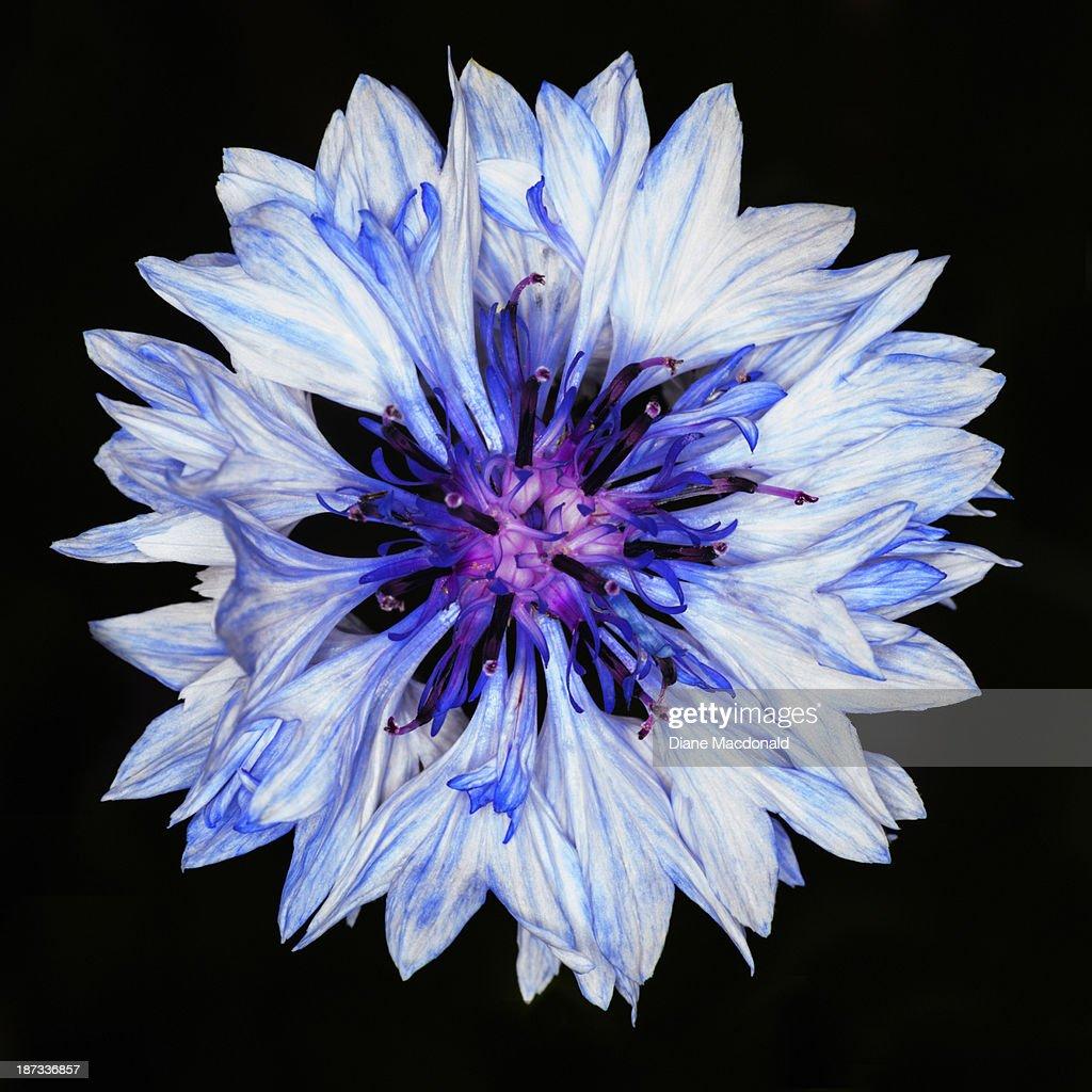 Blue Cornflower With  Pink Center