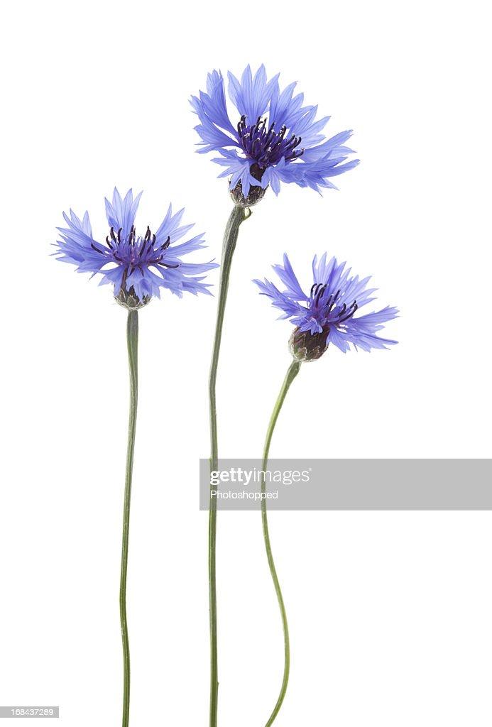 Blue Cornflowers ( Centaurea cyanus ).