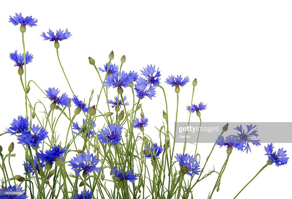 blue cornflowers : Stock Photo