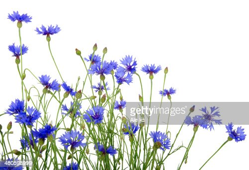 blue cornflowers : Stock Photo