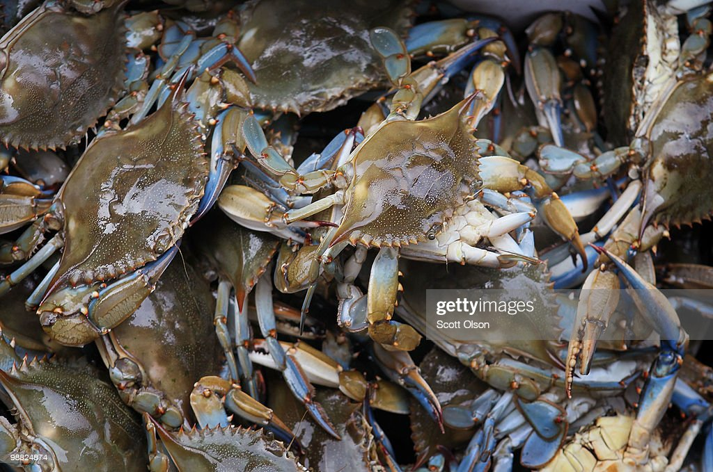 Blue crab caught by fishermen in the BaratariaTerrebonne National Estuary sit in a tub on May 3 2010 near Port Fourchon Louisiana Fishermen who fish...