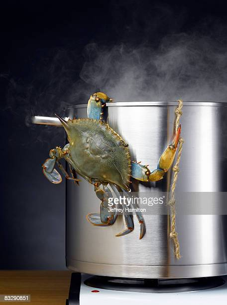 Blue crab escaping boiling pot