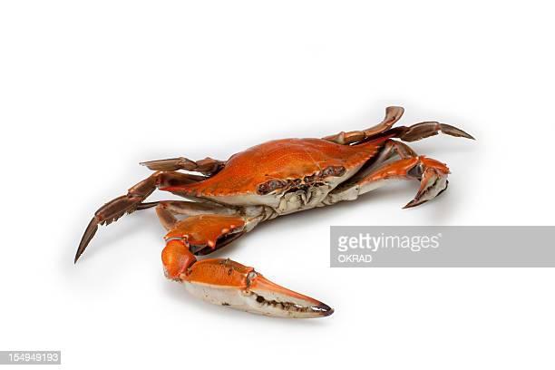 Crabe bleu isolé sur fond blanc-petit
