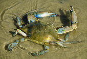 Blue Crab in the Gulf of Mexico.