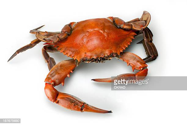 Blue Crab Single top view Isolated on White Background