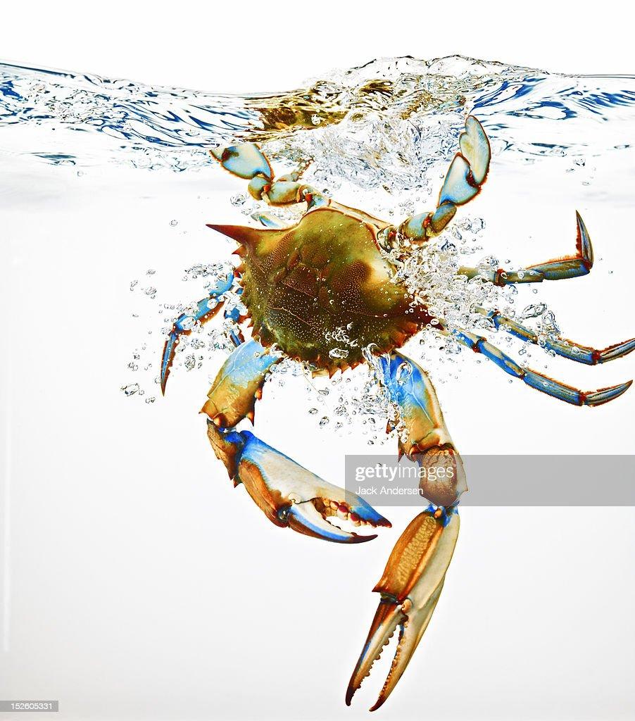 Blue Crab Splashing in Water : Stock Photo