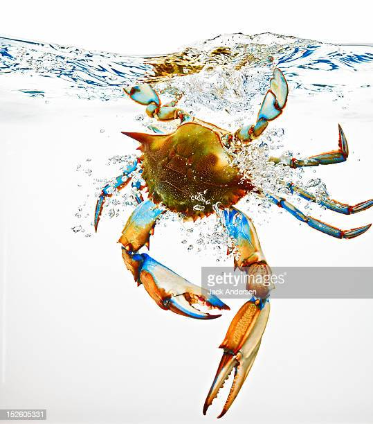 Blue Crab Splashing in Water