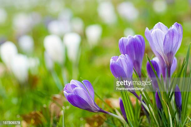 Blue crocuses in Spring