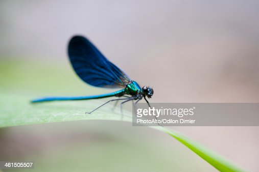 Blue dragonfly resting on blade of grass