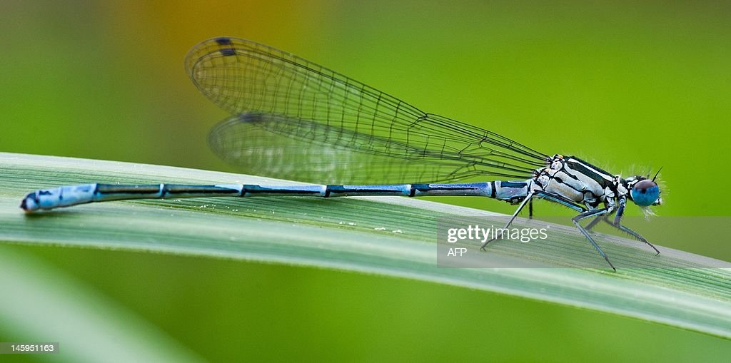 A blue dragonfly (platycnemis pennipes) rests on a reed at the edge of a small lake near Briesen, Germany, on May 13, 2012. Dragonflies are evidently amongst the oldest flying insects with around 5000 known species worldwide. Only 80 dragonfly species can be found in Germany. AFP PHOTO / PATRICK PLEUL GERMANY OUT