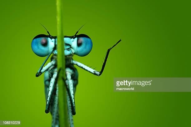 Blue Libelle sitzt auf dem Grashalm
