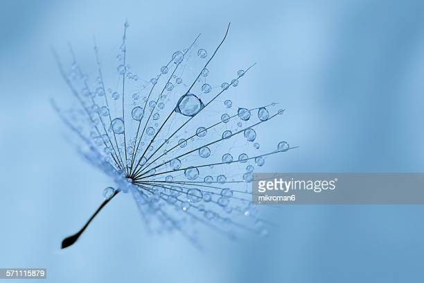 Blue drops on dandelion seed