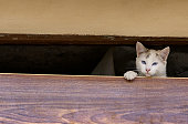 Blue eyed white cat emerges from gap in boarded up house.