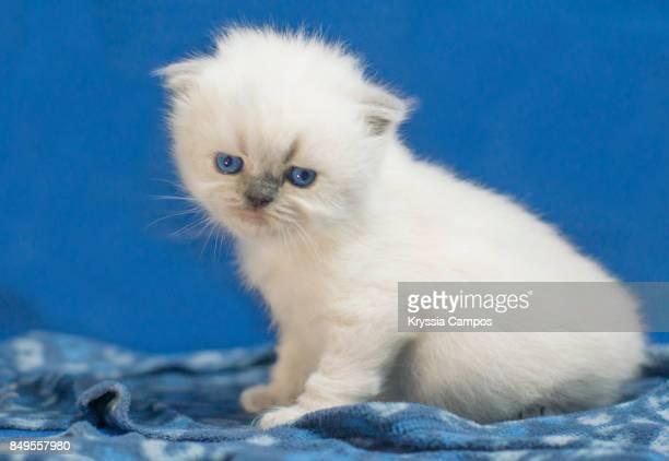 Blue Eyed White Kitten