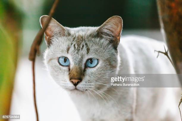 Blue eyes and White cat