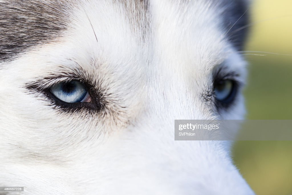 Blue eyes Siberian Husky. Closeup. : Stock Photo