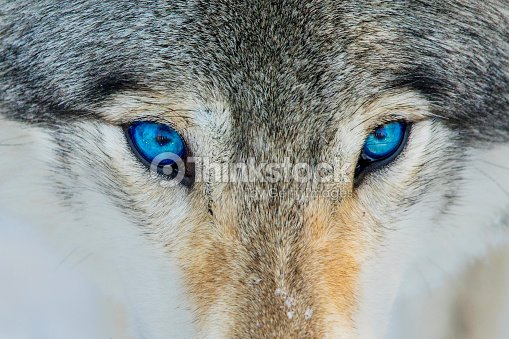 Wolf Blaue Augen