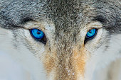 Blue eyes timber wolf portrait