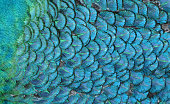 Macro photograph of the feathers of a peacock, color-shifted to blue.