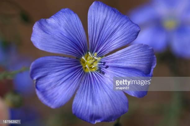 Blaues Leinkraut Bloom Linum perenne lewisii