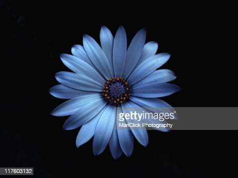 Blue flower : Stock Photo