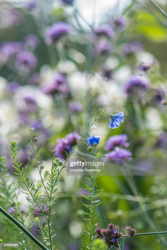 Blue flower : Stockfoto