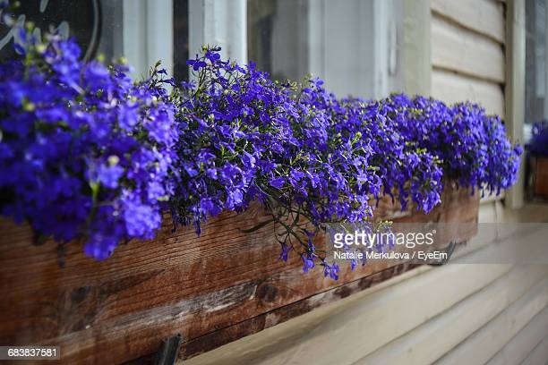 Blue Flowers Blooming In Crate