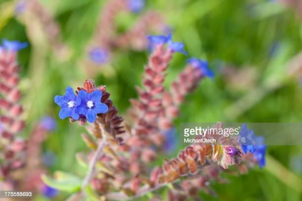Blau Blumen Norderney