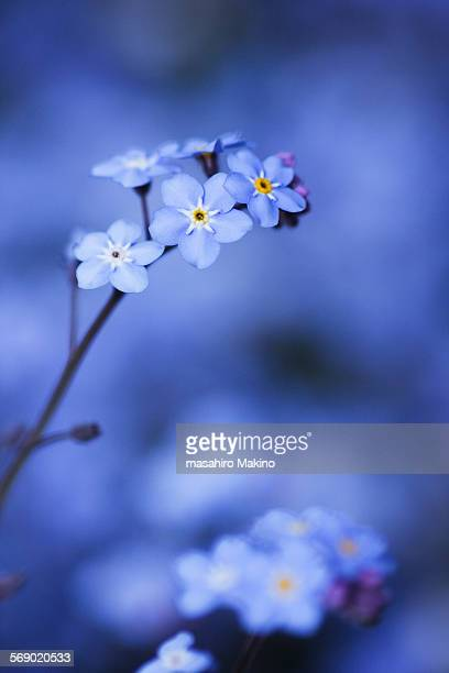 Blue flowers of forget