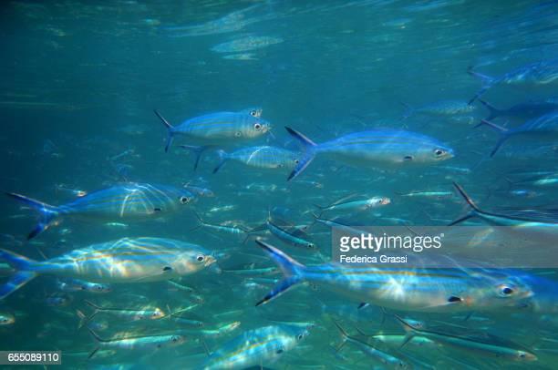 Blue Fusilier Fish (Caesio Caerulaurea)
