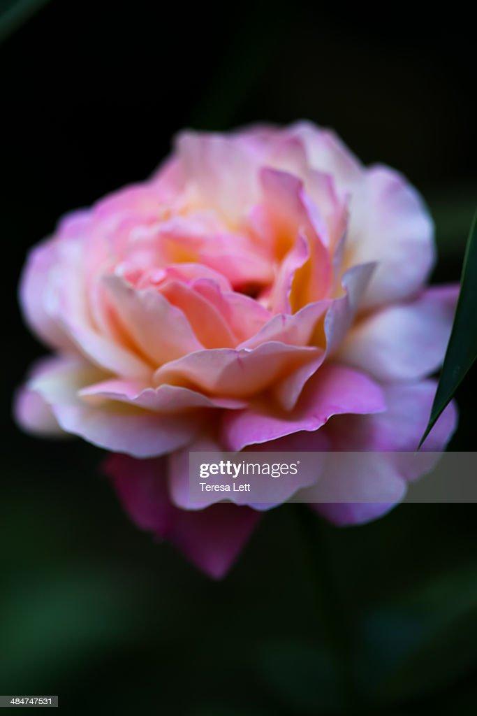 Blue girl rose : Stock Photo