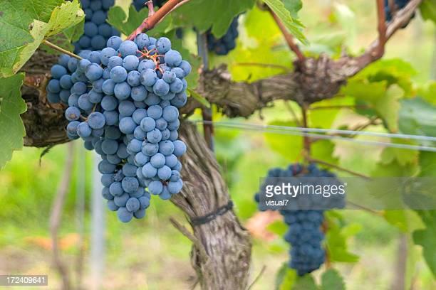 Azul uvas viñedos