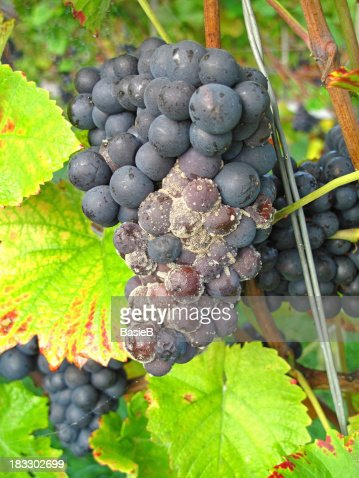 Blue grapes with mold