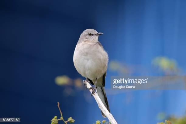 Blue Gray Gnatcatcher bird (polioptila caerulea)