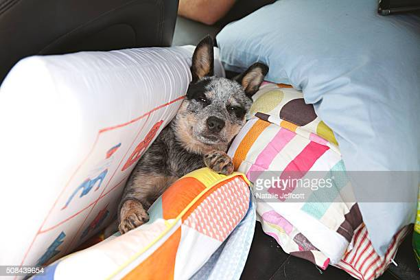 Blue Heeler puppy in the back of a car on a family road trip surrounded by pillows