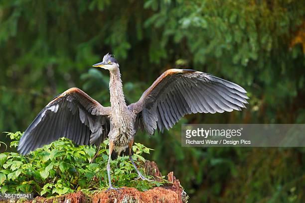 Blue Heron Dancing On A Tree At Fish Creek