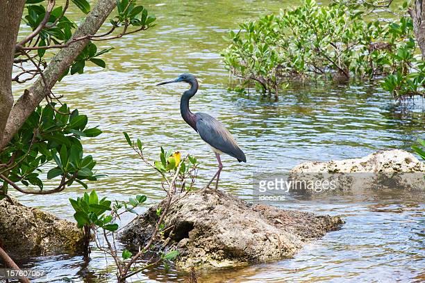 Blue heron in Mangrove lagoon