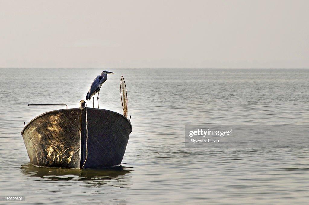 blue heron on row boat : Stock Photo