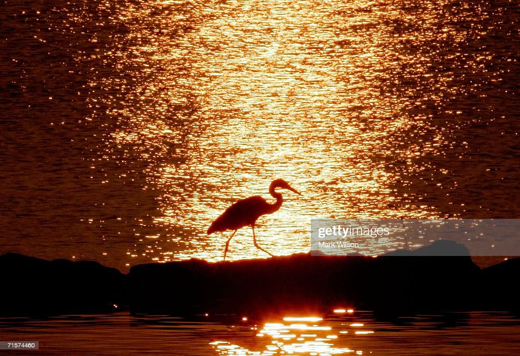 Blue Heron walks along the rocks as the early morning sun is reflected over the Chesapeake Bay August 3 2006 in North Beach Maryland Temperatures in...