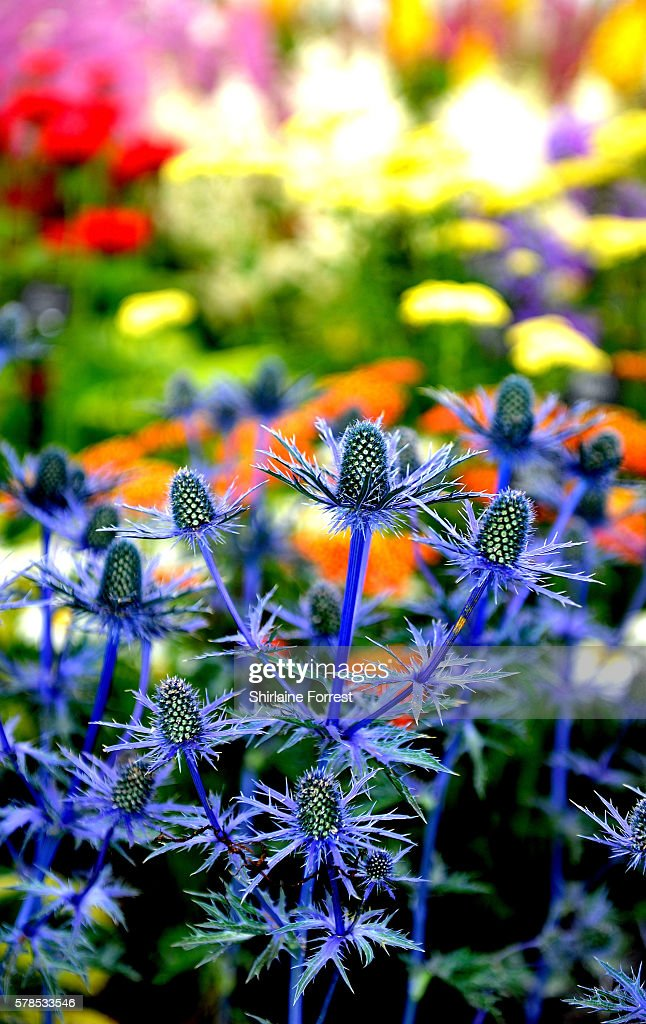 Blue Hobbit thistles on display during the RHS Flower Show at Tatton Park on July 21 2016 in Knutsford England