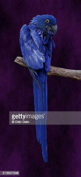 Blue Hyacinth Macaw Looking Over the Shoulder